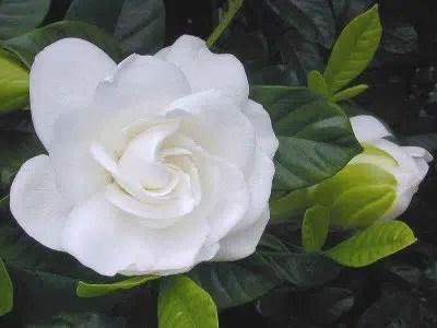 una flor hermosa y delicada la gardenia emujer com