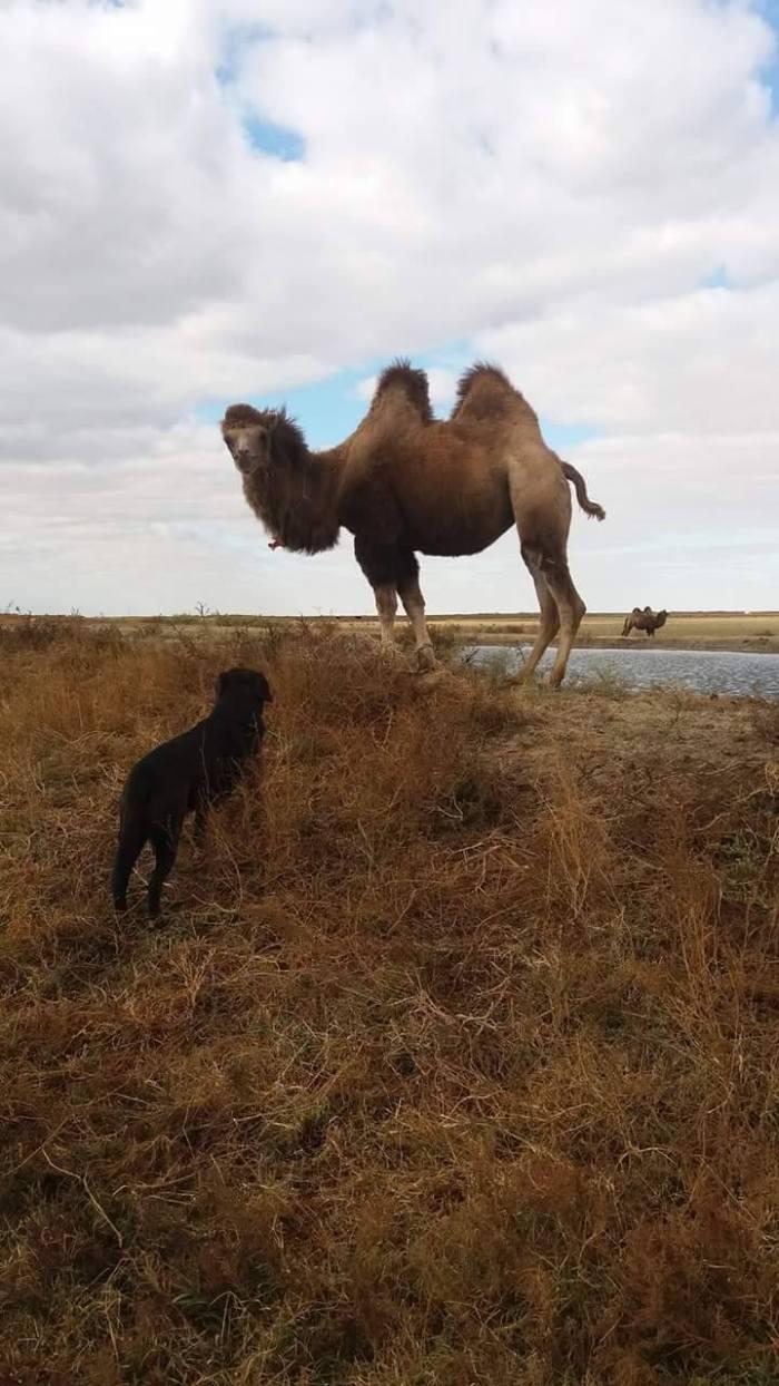 kazakhstan chameau