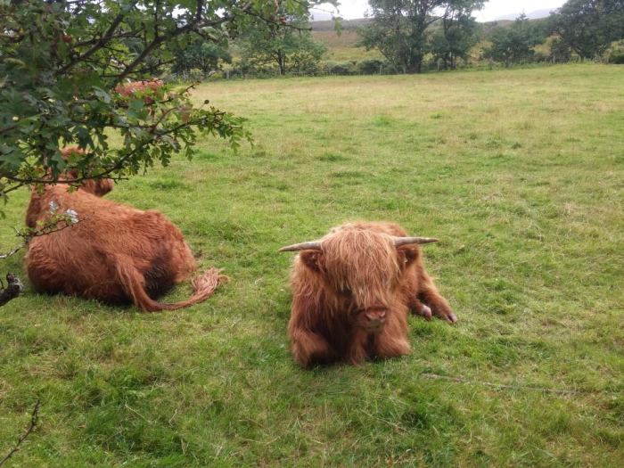 highland cattle bovin