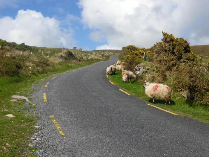 moutons irlande