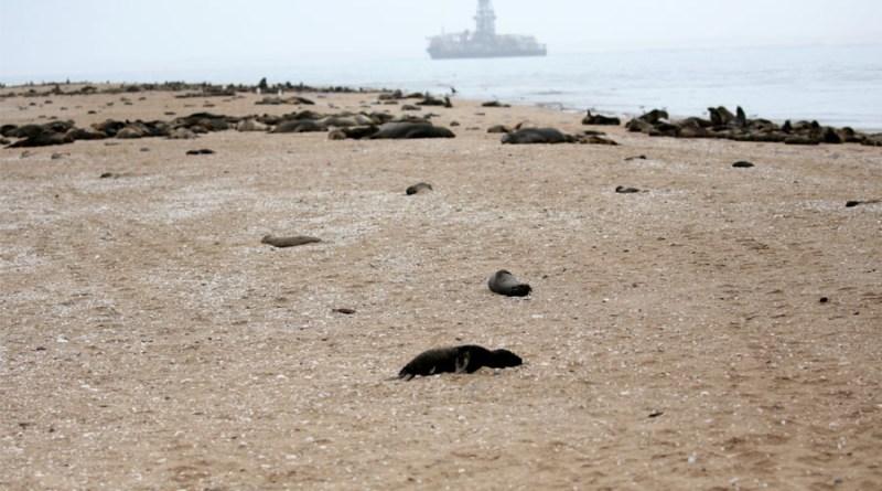 Encuentran más de siete mil focas muertas en Namibia