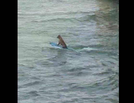 Descubren a perro surfista en Veracruz