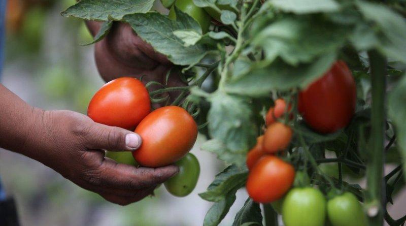 Estados Unidos bloquea importación de tomate en México