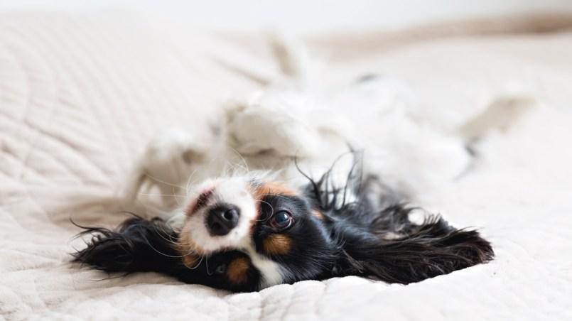 perro se orina en cama