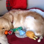 embarazo psicológico en perros