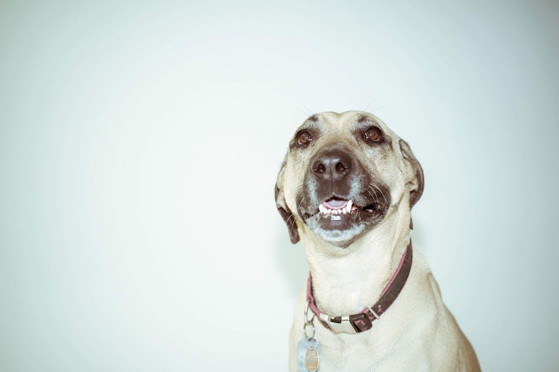 Problemas en el pene del perro: la parafimosis canina