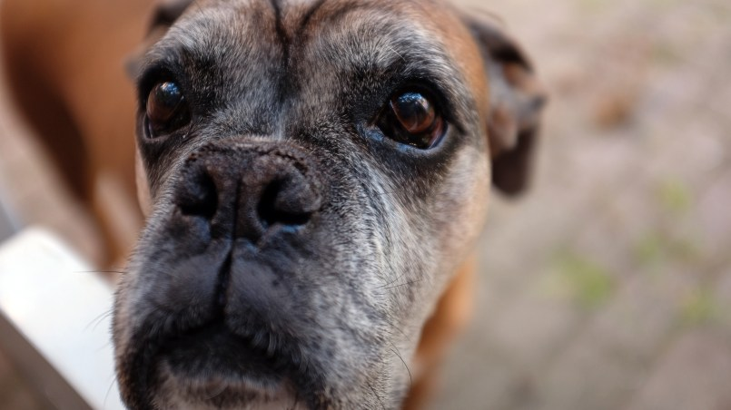 artrosis en perros