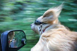 peligro ventanilla coche para perro