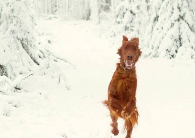 razas de perros más fáciles de educar