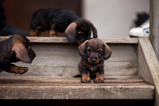 cachorros bajando escaleras
