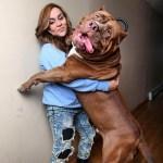 pitbull más grande del mundo