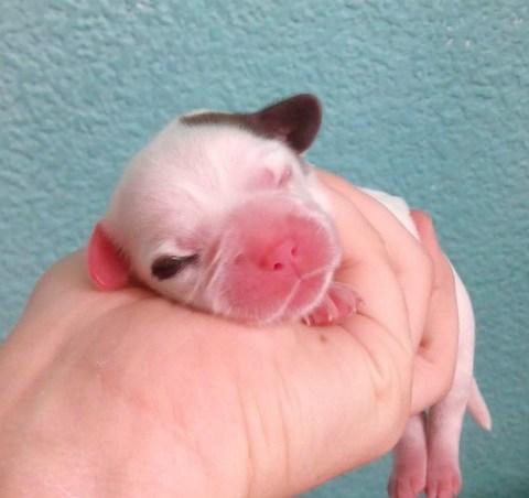 complicaciones en el parto de perras