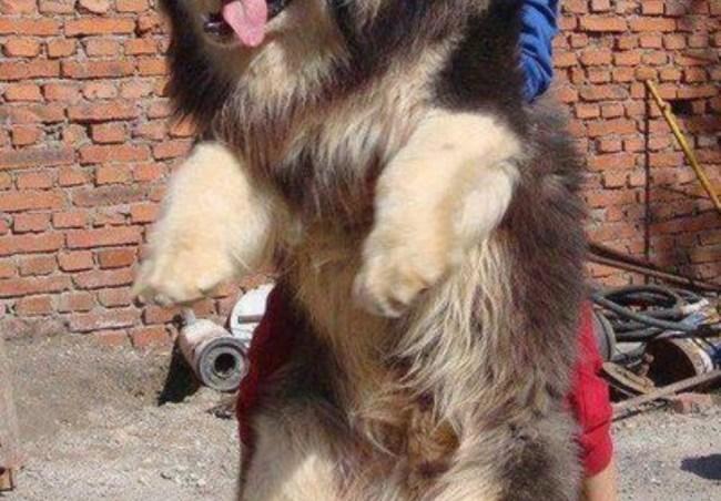 perros gigantes