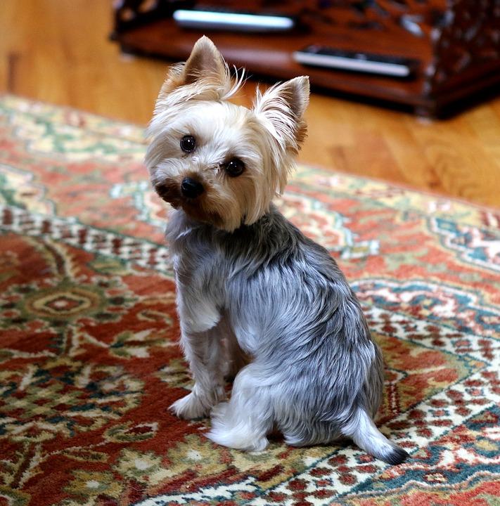 cuidados del yorkshire terrier