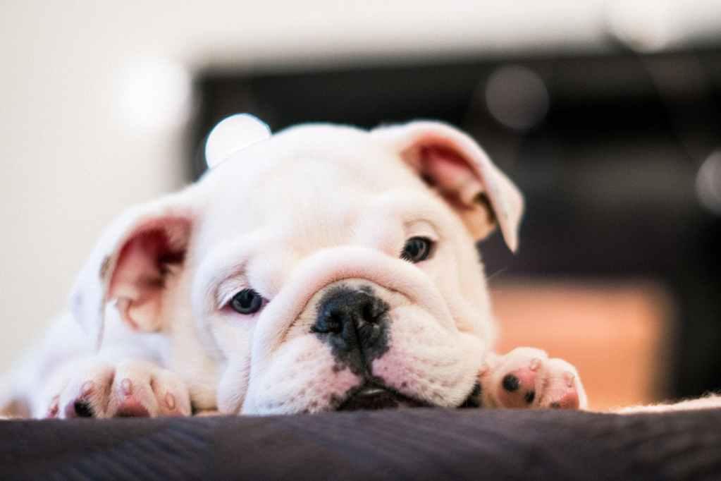 manchas en el abdomen del perro