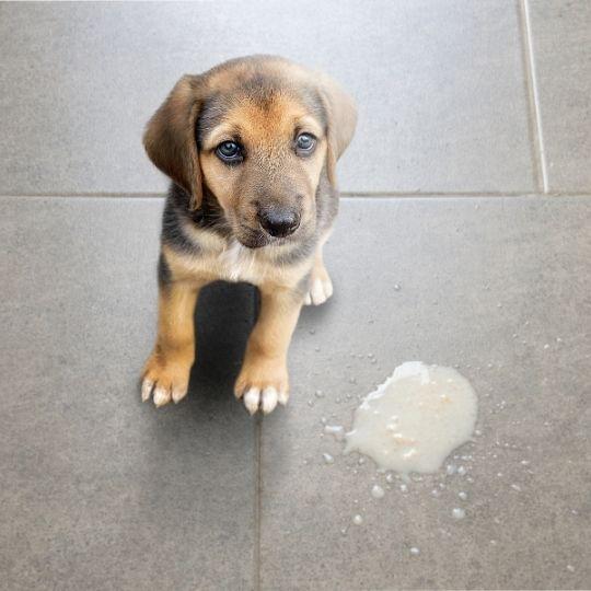 perro vomita