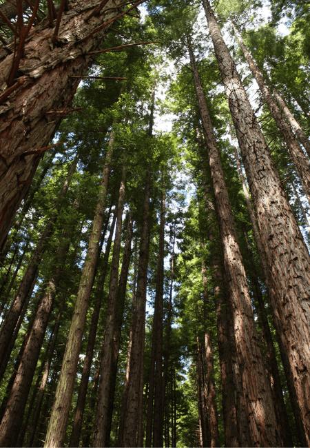 Warburton Redwood Forest.