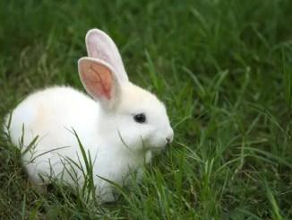 Los siete conejos blancos
