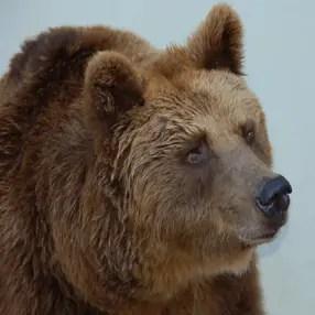 Por qué el oso no tiene rabo