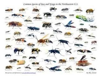 ¿Cuántas clases de avispas existen?