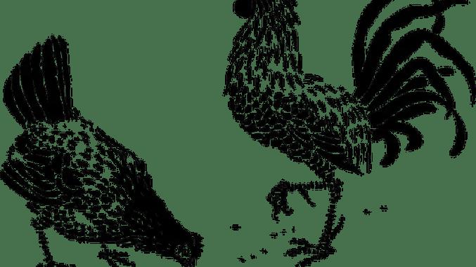 Cuentos infantiles sobre gallinas