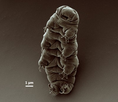 Adult_tardigrade con barra