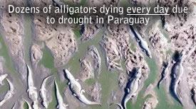 Morte Alligators Paraguay