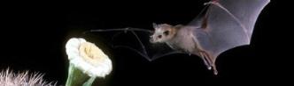 Bat Pollinating