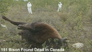 Mass Bison Deaths Canada