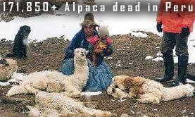 Dead Alpaca Peru