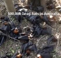 Dead Bats in Australia