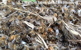 Dead Bees in Hanover