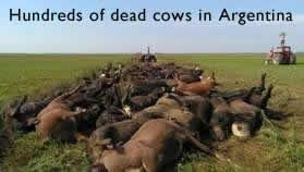 Dead Bulls in Argentina