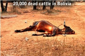 bovins morts en Bolivie