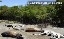 Dead Cattle in Colombia