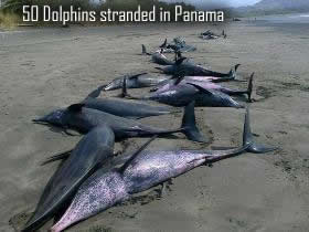 Dead dolphins in Panama