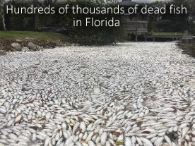 Dead fish in Indian River Lagoon