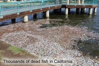 Dead fish in California
