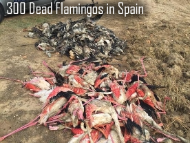 Dead Flamingos in Spain