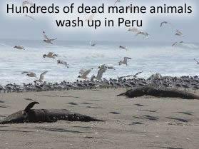 Dead Marine animals in Peru