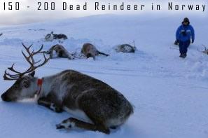 Dead Reindeer in Norway