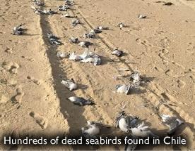 Dead Seabirds Chile
