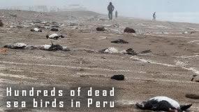 Dead Seagulls in Peru