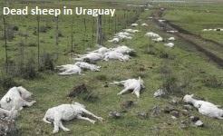 Dead Sheep in Uraguay