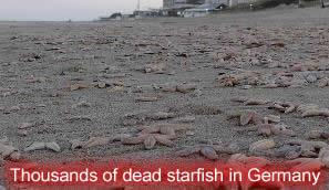 Dead Starfish in Germany