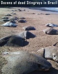 Dead Stingray in Brazil