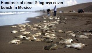 Dead Stingrays Mexico