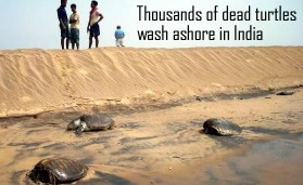 Dead Turtles in India