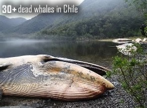 Dead Whales in Chile