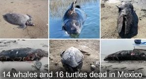 Dead Whales and Turtles Mexico